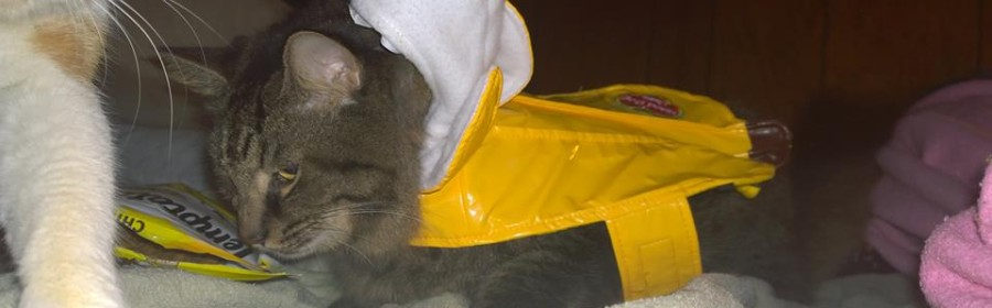 I put my Cat in a Banana Costume (10 Pics of my Cat in Banana Costume)